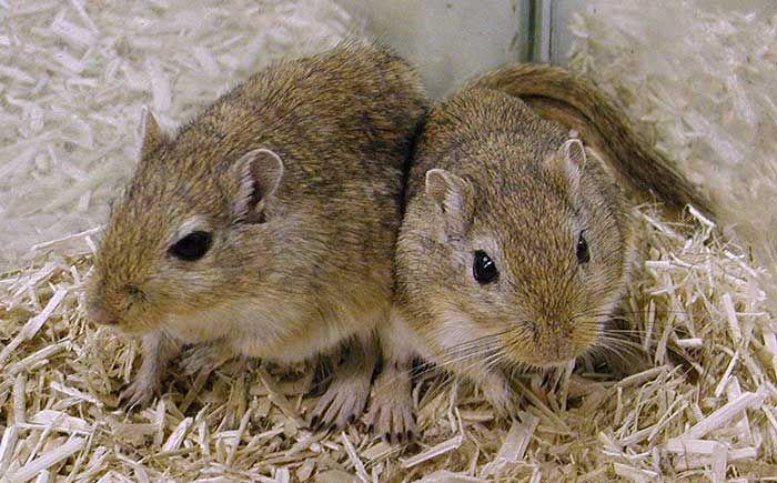 Connaissez-vous la gerbille de Mongolie ? La Gerbille, appelée aussi Rat du désert, a été introduite aux Etats-Unis en 1954. A l'état sauvage ce rongeur est de couleur marron. Il existe désormais 80 espèces de Gerbilles. Ce petit rongeur de caractère sociable, curieux et joueur est aussi un grand acrobate. Il est de plus en plus populaire et demandé par les enfants... Voir la suite sur inspirations.desjardins : http://inspirations.desjardins.fr/la-gerbille-de-mongolie/