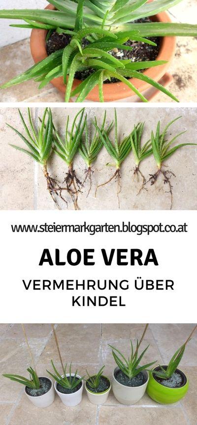 Die Vermehrung von Aloe Vera über Kindel ist denk…