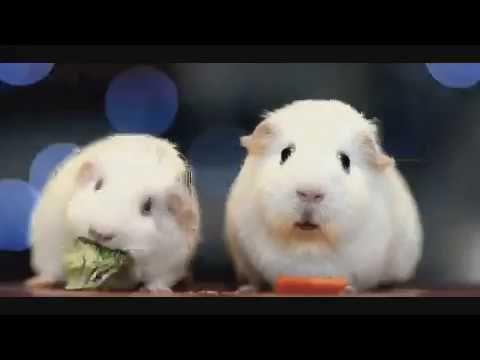 Guinea pig's existential crisis - YouTube
