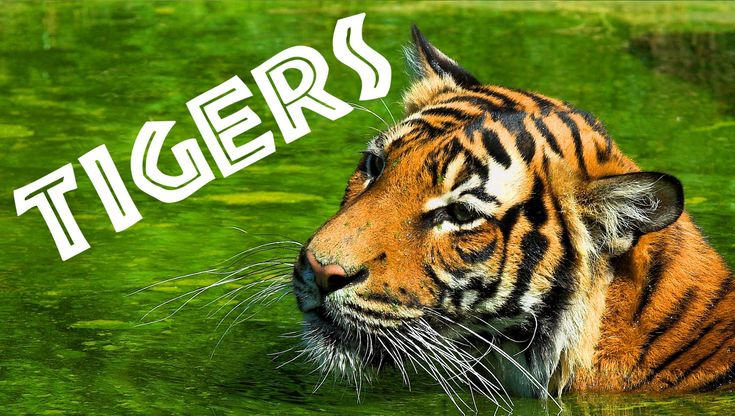 Tigers for Kids: Learn All About Tigers - FreeSchool
