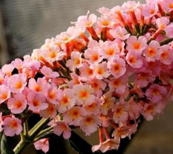 Flutterby Grande® Peach Cobbler Butterfly Bush Buddleia hybrid 'Podaras #5' PP22,144 Peach Cobbler has beautiful peach colored flowers supported by silver gray foliage. THE FLOWERS START OUT AS A LIGH