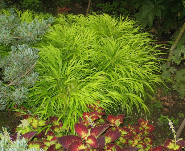 75 best ornamental grass images on pinterest gardening for Ornamental grasses that grow in shade