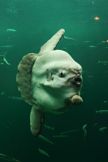 "This ridiculous looking fish is often ridiculed by sea lions. The sea lions can't really eat them due to their extremely tough skin. Instead, they bounce them back and forth like a volley ball. ""Mom the sea lions used me as a frizbee again waaaahhhh"" *ridiculous fish"