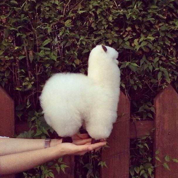 Baby Alpaca Doll  in Korea  한국에 온 알파카!
