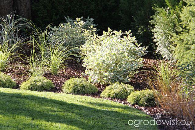 Dereń biały - Cornus alba - strona 10 - Forum ogrodnicze - Ogrodowisko