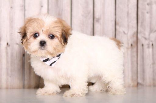 Zuchon puppy for sale in MOUNT VERNON, OH. ADN-59685 on PuppyFinder.com Gender: Female. Age: 9 Weeks Old