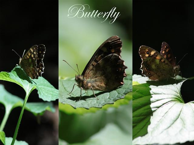 butterfly by RanSie9, via Flickr
