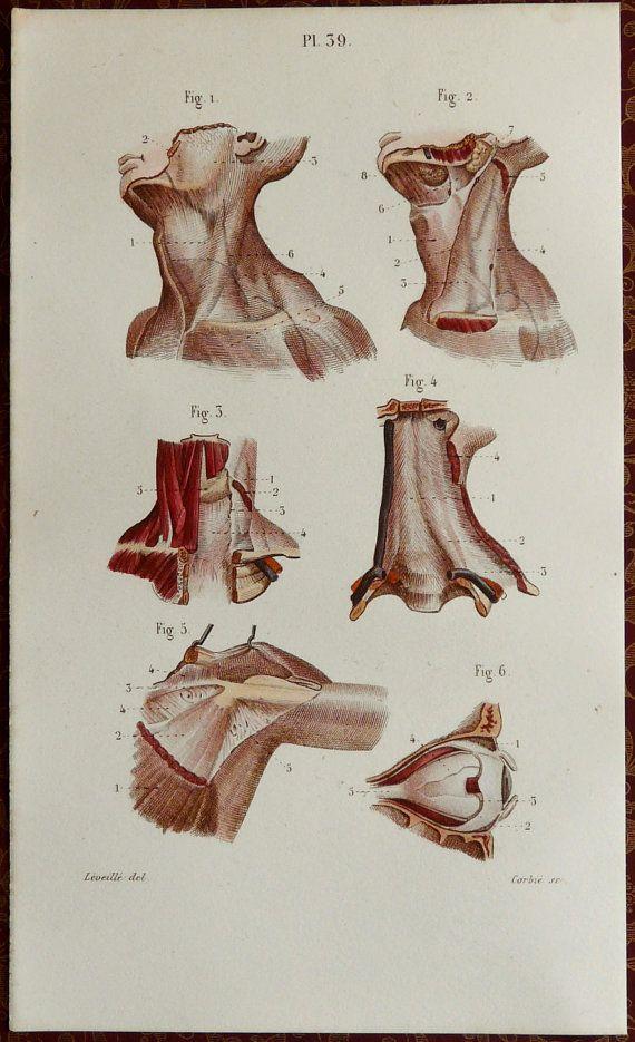 ☤ MD ☞☆☆☆ 1879. Pl. 39. Tête et du cou. Muscles. Anatomie humaine. Dessin : Jean-Baptiste Léveillé. Gravure : Corbié.