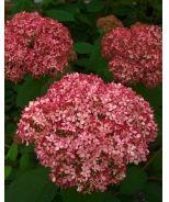 Monrovia Nursery  New Collection Reblooming Hydrangea  Buy at your local garden center.