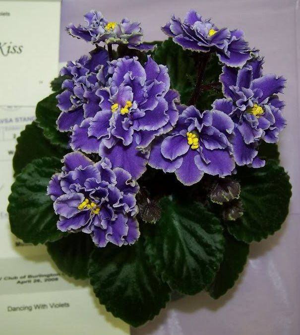 African Violet 'Watermelon Bay' -  Plant or leaves are available!