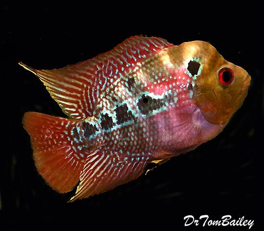 Flowerhorn Cichlid, Featured item. #flowerhorn #cichlid #fish #petfish #aquarium #aquariums #freshwater #freshwaterfish #featureditem