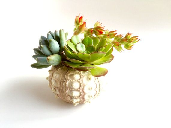 Succulent Plants in Sputnik Sea Urchin Shell ~ Living Garden Planter ; Mother's Day Plant Delivery : Free Gift Wrapping & Fast Shipping!