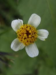 Bidens alba/pilosa: chew leaves for insect bites & fire ant stings. Edible!