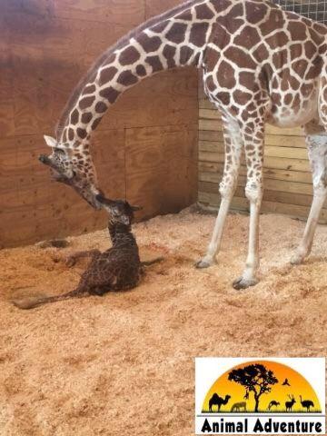 April the Giraffe and newborn baby boy 4/15/2017