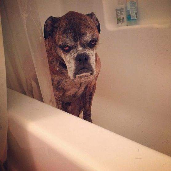 Grumpy Old Boxer in the Bathtub - Dog Gone Funny! ---- hilarious jokes funny pictures walmart fails meme humor