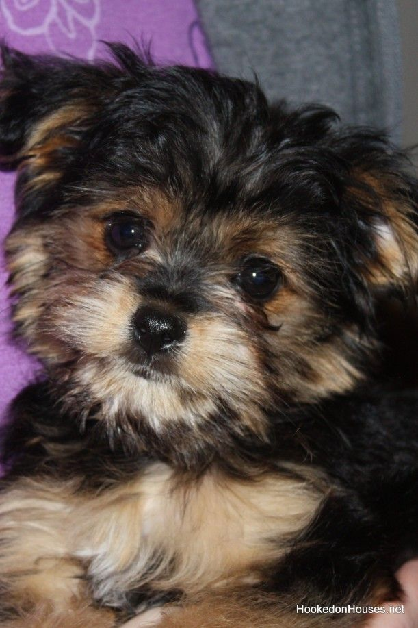 Completely adorable Yorki-poo puppy introduced on the Hooked on Houses blog.