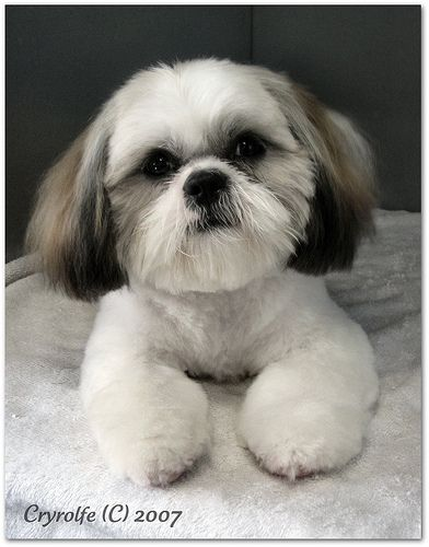 puppy cut shih tzu shih tzu grooming style photos wow com image results 8206