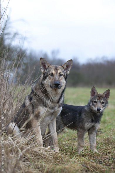 Der Saarlooswolfhond gehört zu den relativ jungen, anerkannten Hunderassen und ist das erstaunliche Ergebnis einer der seltenen, gelungenen Kreuzungen zwischen einem Hund und einem Wolf. Er ist ein kräftiggebauter Hund, dessen äußeres Erscheinungsbild (Körperbau, Gang und Behaarung) an einen Wolf erinnert. Dabei ist er harmonisch gebaut und hat recht lange Gliedmaßen, ohne den Eindruck zu erwecken hochbeinig zu sein. Die unterschiedlichen sekundären Geschlechtsmerkmale bei Rüden und…