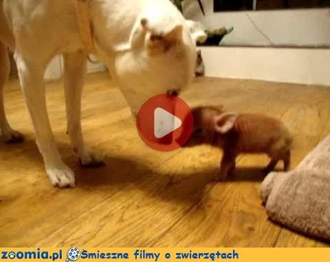 Najmniejsza świnka na świecie « Inne zwierzęta « Śmieszne filmy o zwierzętach - śmieszne koty, śmieszne psy. Zoomia.pl :: Zoomia pl