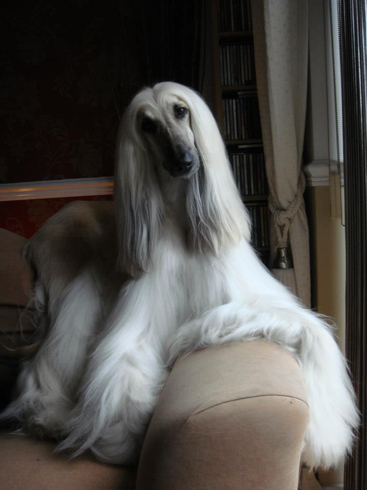 Im well aware that Afghan Hounds probably dont speak French, but this photo says je suis tres belle, nest-ce pas?