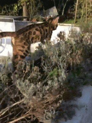 "catgifcentral: ""Assassin Cat"""