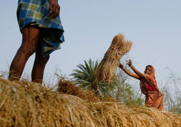 De donkere kant van basmati: boeren lijden opvallend vaker aan kanker