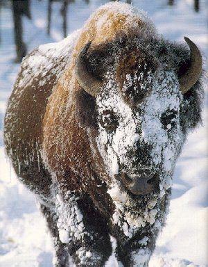 bison et indiens | CLIQUEZ SUR LE BISON