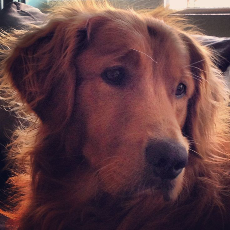a sweet golden retriever  looks like my Ruby- I never realized that Goldens can be red almost like a setter