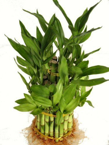 Plants that you can buy on Amazon #plants #amazon #plantlover LUCKY BAMBOO – a well-known plant for bringing good fortune and one key element in feng shui in Chinese Culture. A good addition as a décor in your home, believed to extract a positive energy…