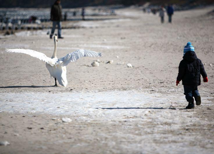 Łabędź | Swan #bałtyk #morze #baltic #sea #seaside #poland #polska #visitpoland #seeuinpoland