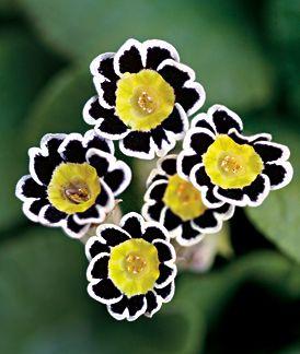 Primula polyantha  'Victoriana Silver Laced Black'