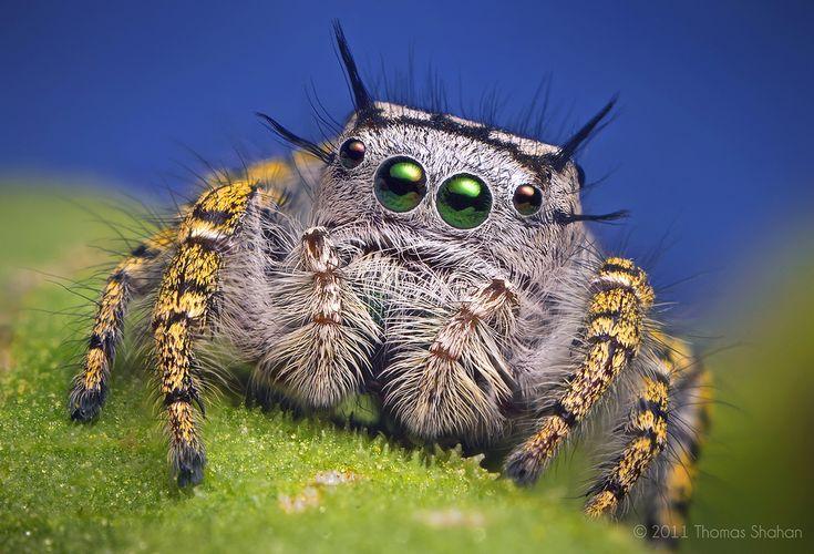 Макро фото - взрослой самки паука-попрыгунчика.