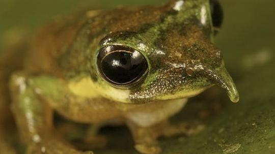 Expedition ins Tierreich: Forscher findet Frosch mit langer Nase