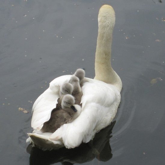 .: Mothers Animal Pictures, Mothers Love, Swan Baby, Animal Baby, Baby Wear, Mothers Nature, Mothers Goose, Baby Swan, Mothers Day Card