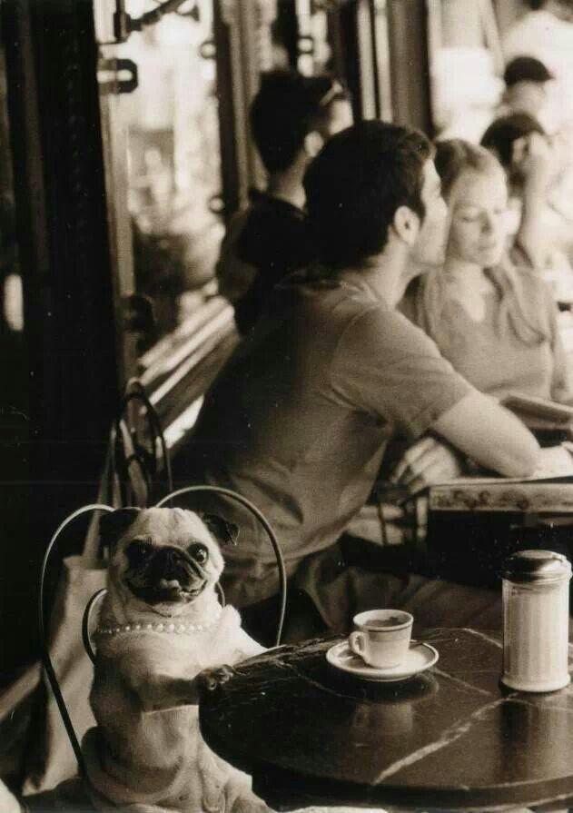 Coffee break for pug