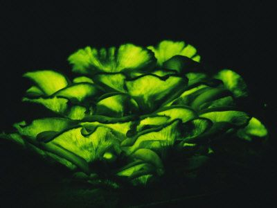 Omphalotus Olearius, not lethal but it is tasty and makes you want more, but it makes you sick..and it glows