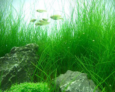 Dwarf Hairgrass, A Carpeting Plant For Freshwater Aquariums