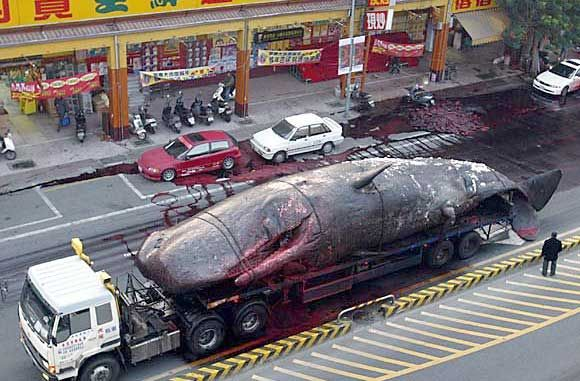 dead whale blows up on ppl as its been transported :S