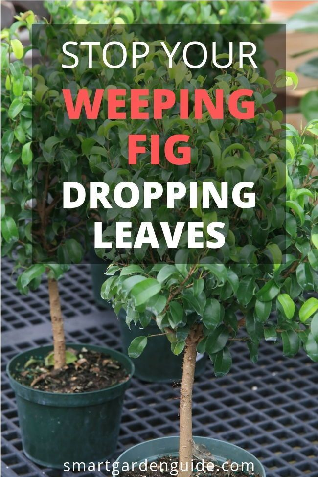How To Care For Weeping Fig Trees Ficus Benjamina Weeping Fig Care Tips And Common Problems Solved In This Complete Guide Weeping Fig Ficus Benjamina Ficus