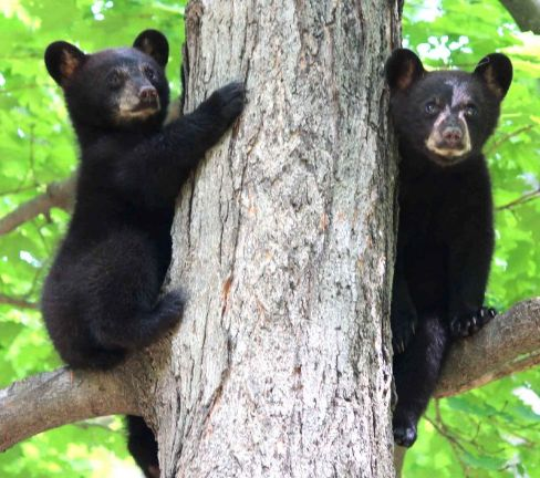 ABOMINATION! The NRA Just Convinced Congress Today To Legalize Killing Bear Cubs & Their Mothers In Wildlife Refuges - There is BLOOD ON TRUMP VOTERS' HANDS!  This HEINOUS ATROCITY is what happens when voters FAIL TO DO THEIR HOMEWORK before voting!