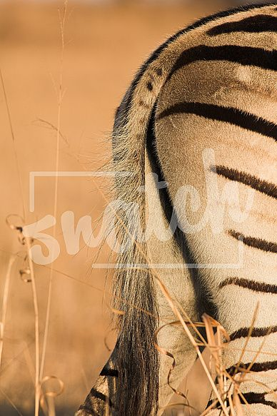 Tail of a zebra grazing in the veldt – Rietvlei, South Africa (Winter) Snatch Stock Images - Stock Photography | Vectors | Graphics | Videos
