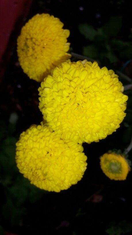 Pompones amarillos 4