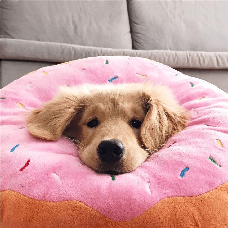Dicas para fotografar cachorros: explore angulos diferentes. Por Delicia de Blog. Golden retriever filhote com a cabeça enfiada em um almofada.