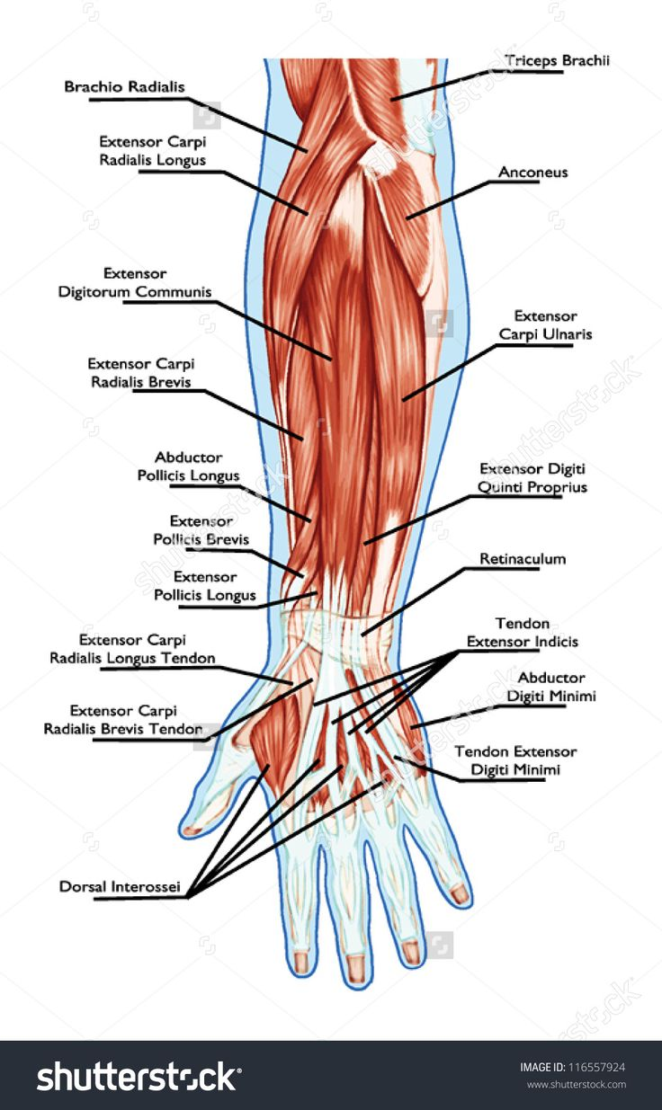 Anatomy of muscular system � hand, forearm, palm muscle - tendons, ligaments � educational biological board