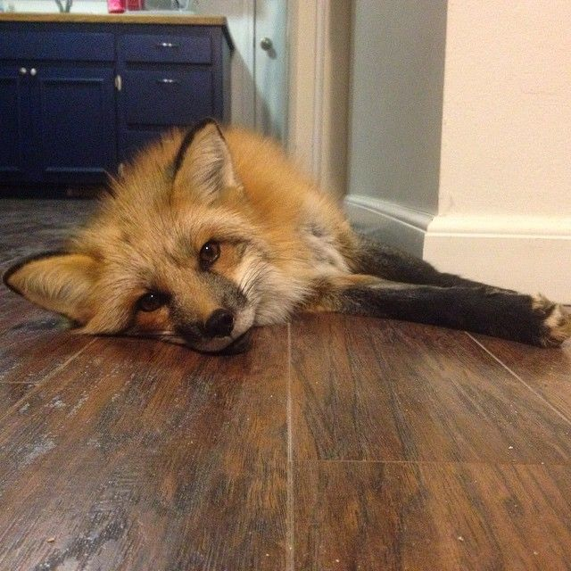 1,368 Likes, 58 Comments - Penny the Fox (@penny_the_fox) on Instagram