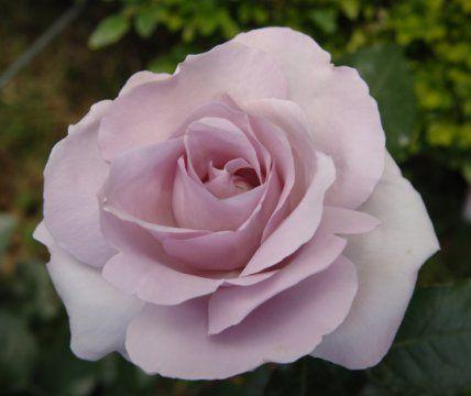 17 best images about jardin jolies roses on pinterest robins grand prix and opaline. Black Bedroom Furniture Sets. Home Design Ideas