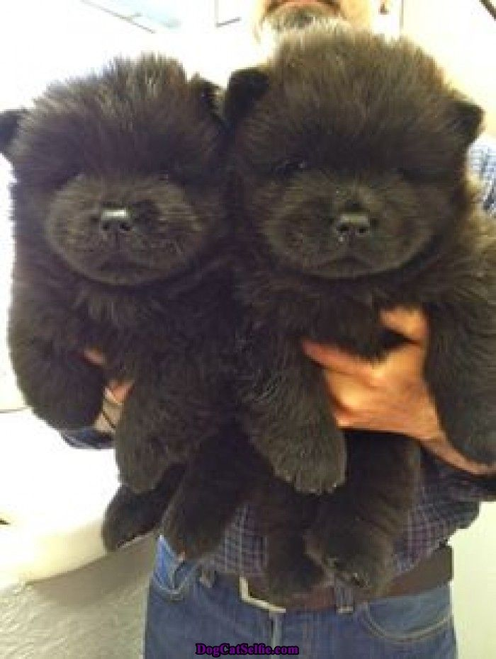 Fantastic Black Chubby Adorable Dog - 6be16aeb988bb9ce22cd04c326864621--cat-selfie-black-chow-chow  Graphic_164817  .jpg