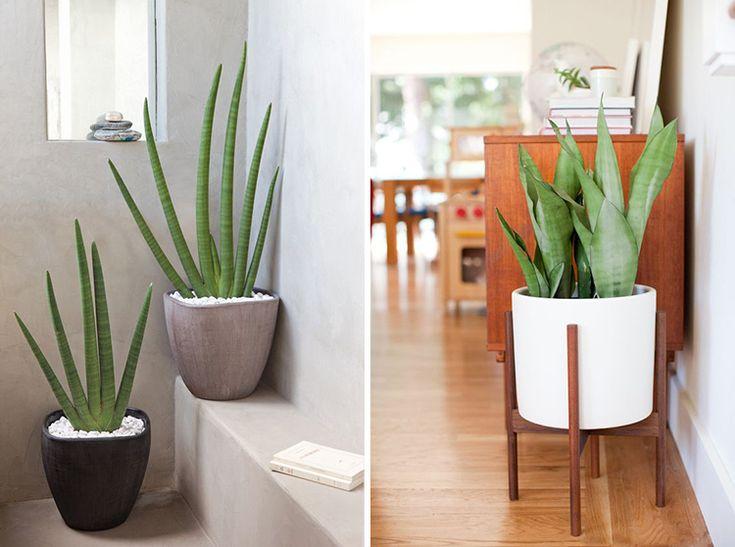 Если вы хотите украсить интерьер растениями или устроить дома небольшой зимний сад, но не располагаете достаточным количеством времени для ухода за ним, вам понравитсянаш список самых неприхотливых растений для дома. Мы расположили самые стойкие растения в начале списка, а затем в порядке убывания следуют домашние растения, которые потребуют чуть больше вашей заботы. 1. Рекордсменом по …