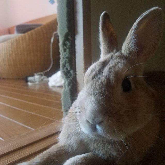#ジョーニアス#うさぎ#ウサギ#兎#兔#菟#rabbit#bunny#うさんちゅ#ウサギのいる暮し#🐰#토끼#lapin#モフモフ#可愛い#ペット#cute  #cutepetclub #animallovers#ミニウサギ #cute#pet #kawaii #animal #🐇#癒し#動物#うさぎ写真部#愛兎家animallovers,菟,癒し,kawaii,愛兎家,cutepetclub,モフモフ,lapin,rabbit,animal,pet,兔,🐇,うさぎ,うさぎ写真部,ウサギ,ウサギのいる暮し,ペット,ミニウサギ,cute,兎,토끼,ジョーニアス,可愛い,動物,bunny,うさんちゅ,🐰