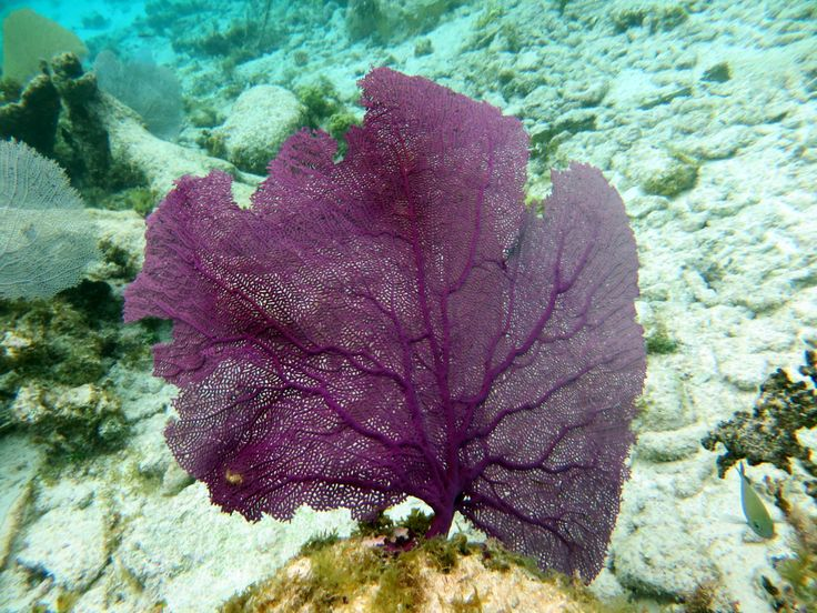 Purple Fan Coral